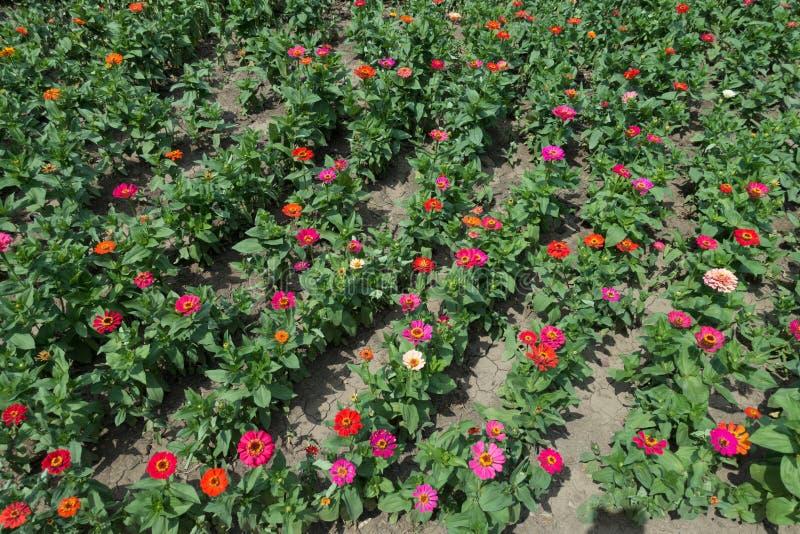 Линии цветков красных, пинка, апельсина, бежевых и цвета маджент zinnia стоковые фото