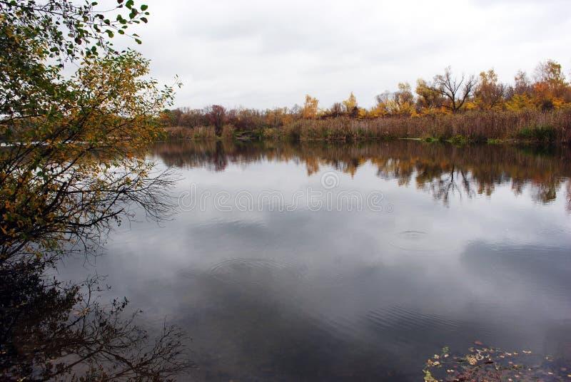 Линия желтых берез и верб на противоположной стороне реки с тростниками вдоль отражать на воде стоковая фотография rf