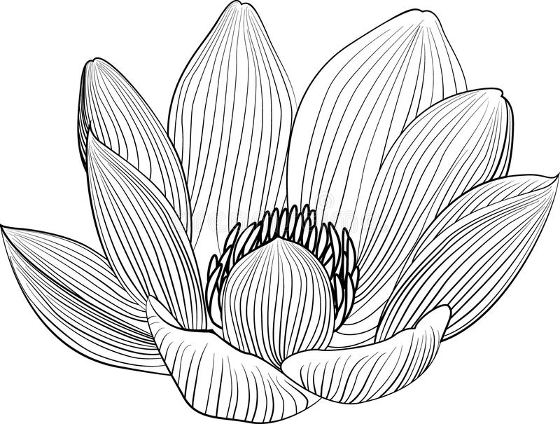 Линия иллюстрация цветка лотоса Lineart Предпосылка вектора абстрактная черно-белая флористическая иллюстрация штока