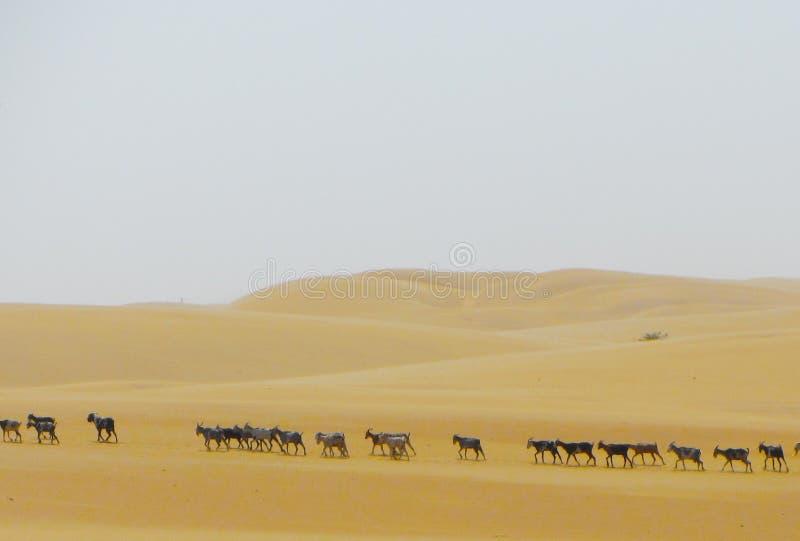 Линия коз стоковая фотография rf
