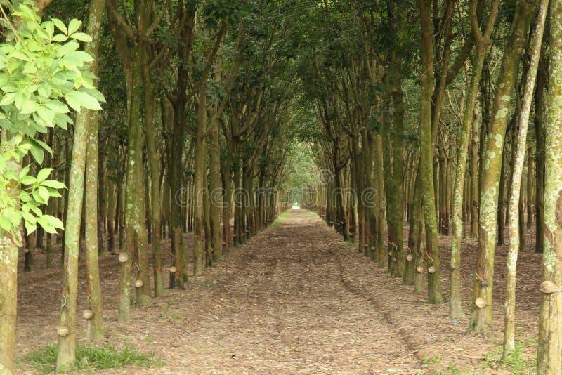 Линия сада резинового дерева стоковые изображения