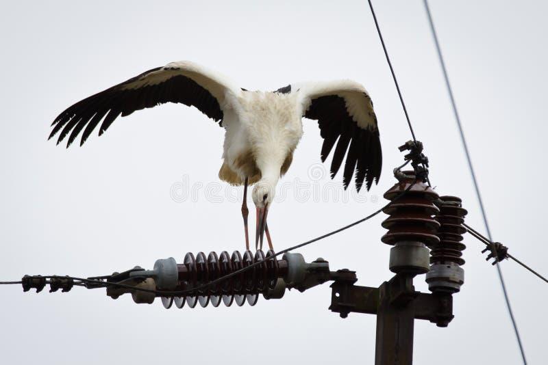 линия электричества белизна укуса аиста стоковая фотография rf