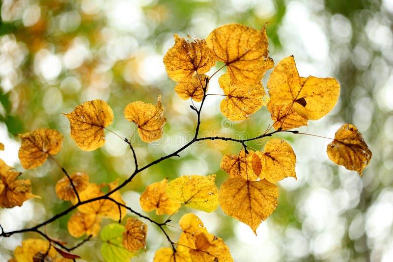 липа листьев осени стоковое изображение rf