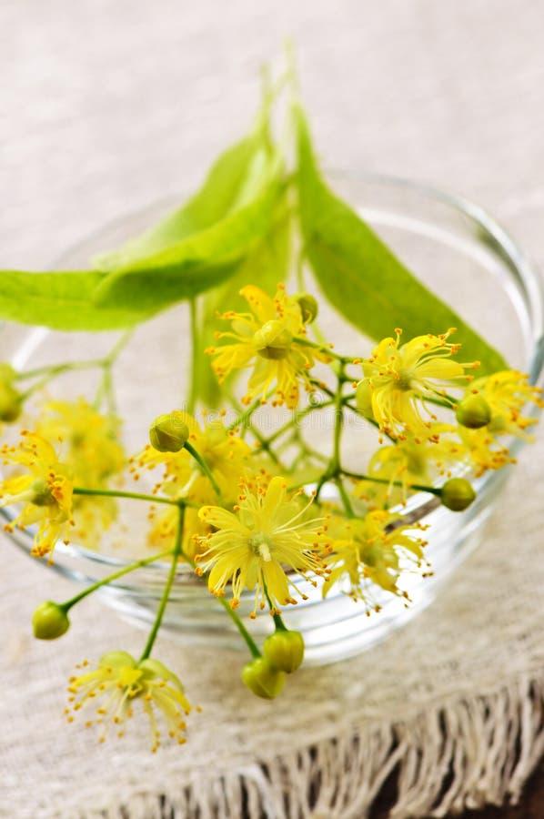 липа цветка стоковая фотография
