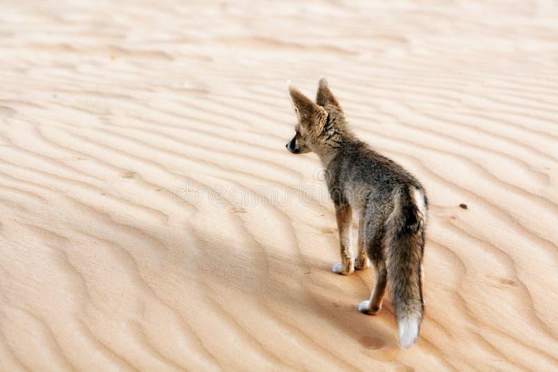 лисица пустыни его производя съемку территория стоковое изображение