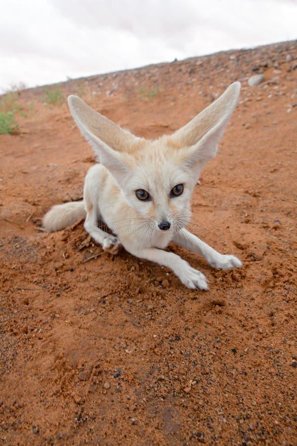 лисица пустыни стоковое фото
