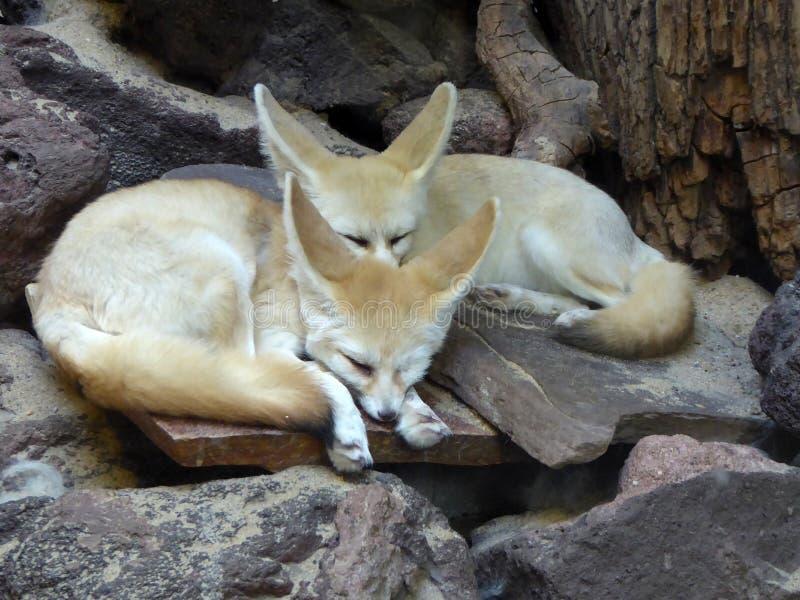 лисица angoras Знание природы Через глаза природы стоковое фото