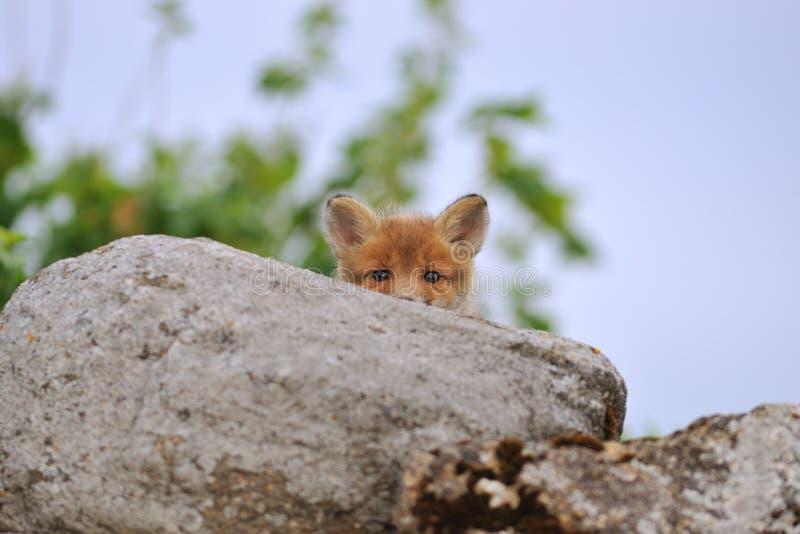 лисица peeking детеныши стоковая фотография rf