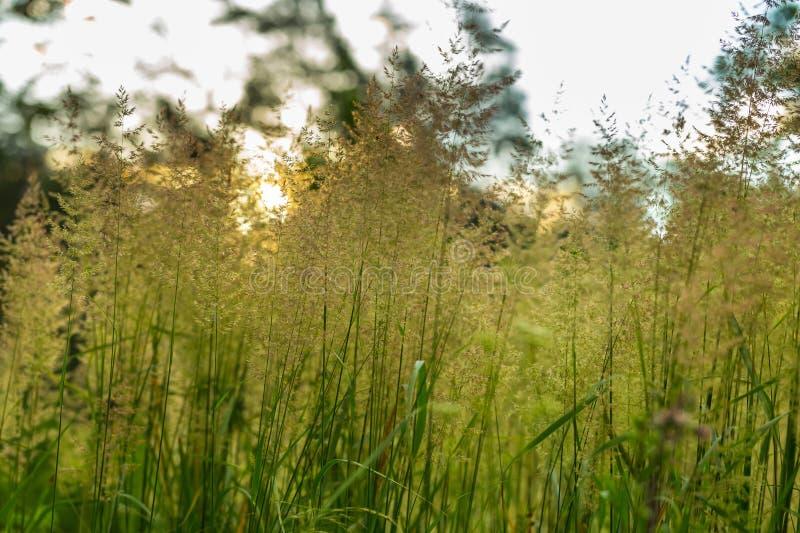 Лисохвосты одичалой травы стоковая фотография