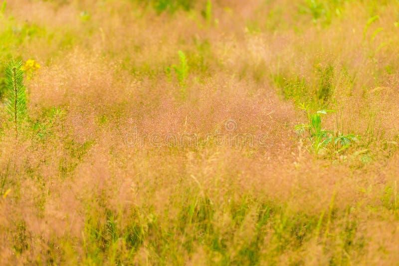 Лисохвосты одичалой травы стоковые изображения