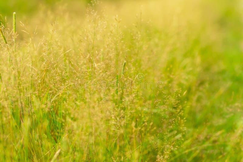 Лисохвосты одичалой травы стоковое фото