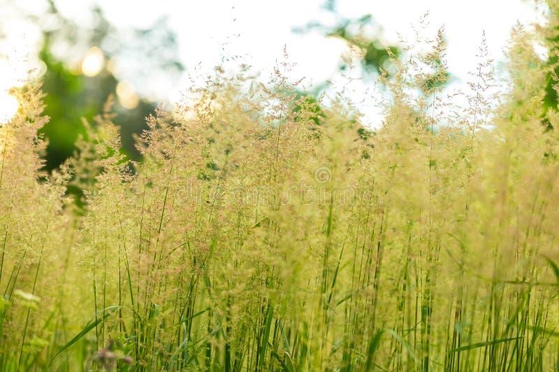 Лисохвосты одичалой травы стоковая фотография rf