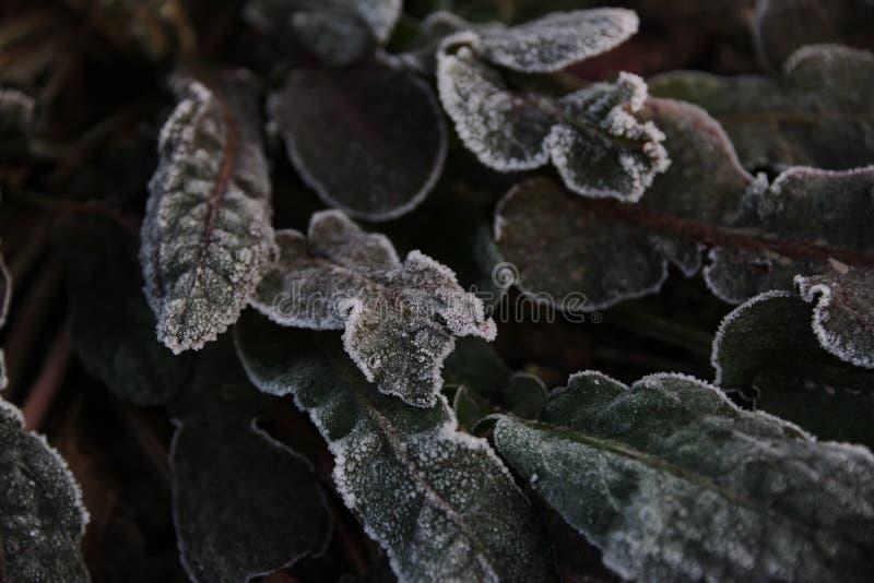 Лисохвост Frost стоковое фото rf