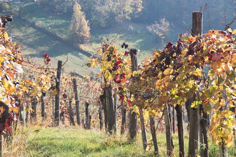 Листва виноградника стоковые фотографии rf