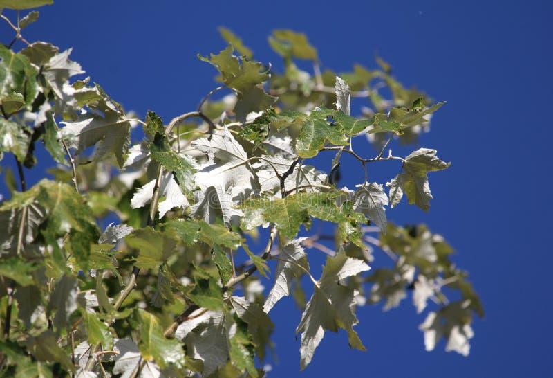 Листва дерева белого тополя летом стоковое фото rf