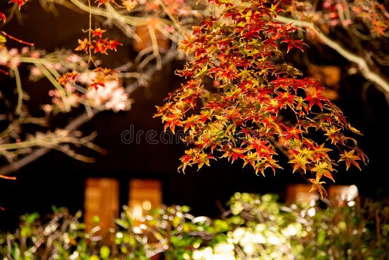 Листва осени клена живая в Nabana отсутствие парка Sato, Японии стоковые изображения