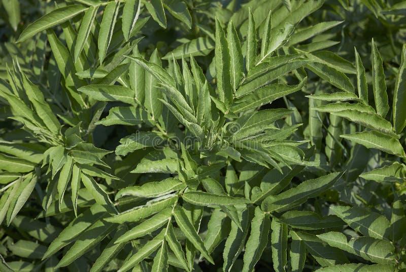 Листва ebulus Sambucus свежая стоковые фото