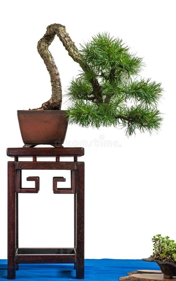 лиственница conifer европейская стоковое изображение