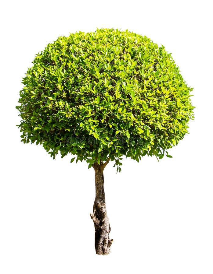 лиственное дерево на белой предпосылке, для пользы в архитектурном дизайне или работе стоковые изображения rf