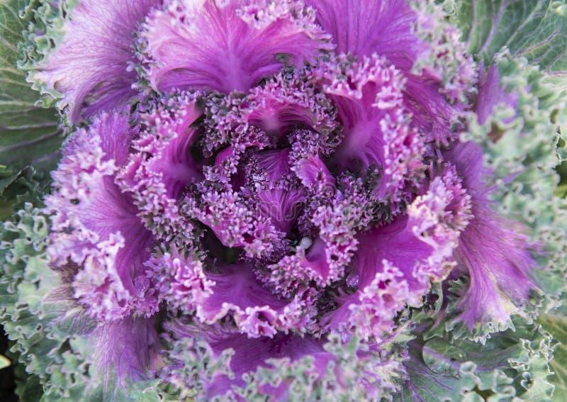 Листовая капуста взгляда крупного плана фиолетовая орнаментальная в Далласе, Техасе стоковые изображения rf