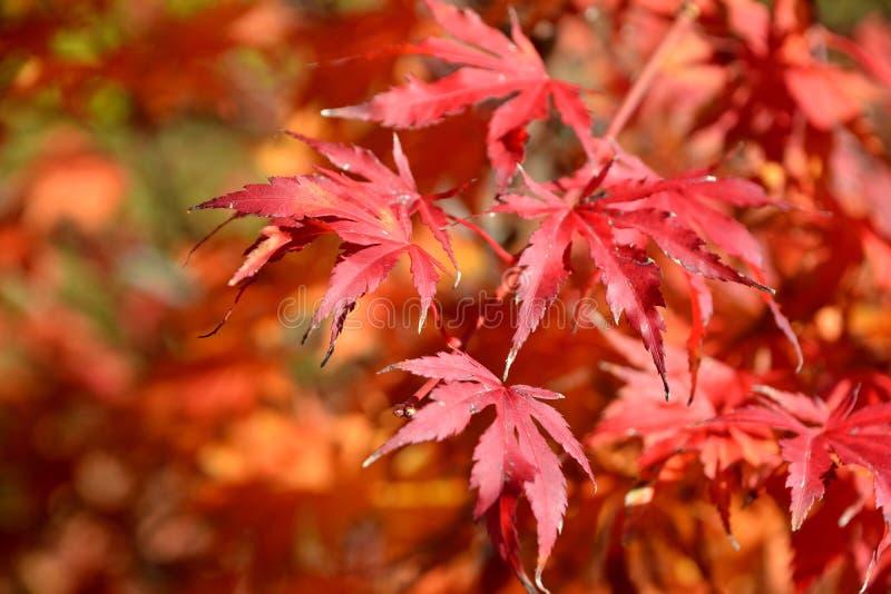 Листья Асера пальматума стоковые фотографии rf