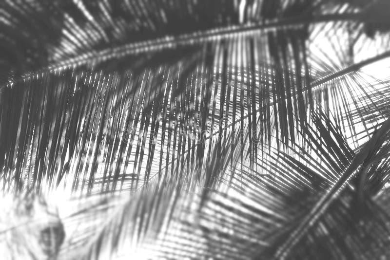 Листья ладони - абстрактная естественная предпосылка с нерезкостью в сером масштабе стоковые фото