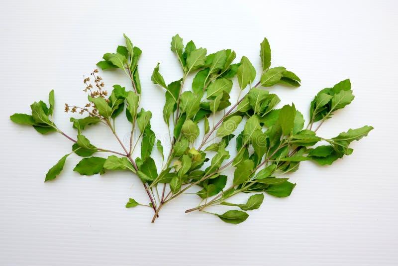 Листья базилика стоковое фото