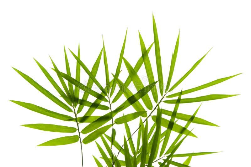 листья бамбука стоковое изображение