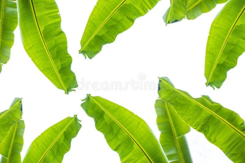 Листья банана изолированные на белой предпосылке скопируйте космос стоковое фото rf