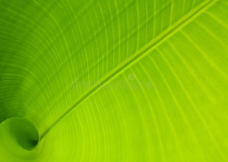 листья банана стоковая фотография