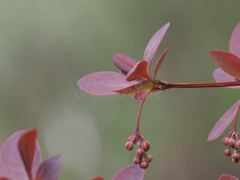 Листья барбариса и бутоны цветков на сером конце предпосылки - вверх стоковые изображения rf