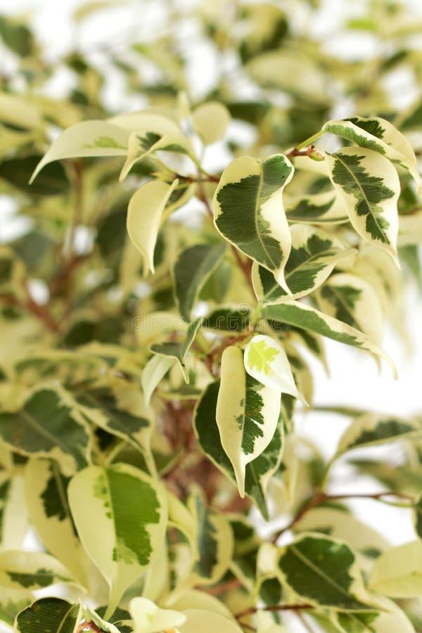 листья Бенжамина