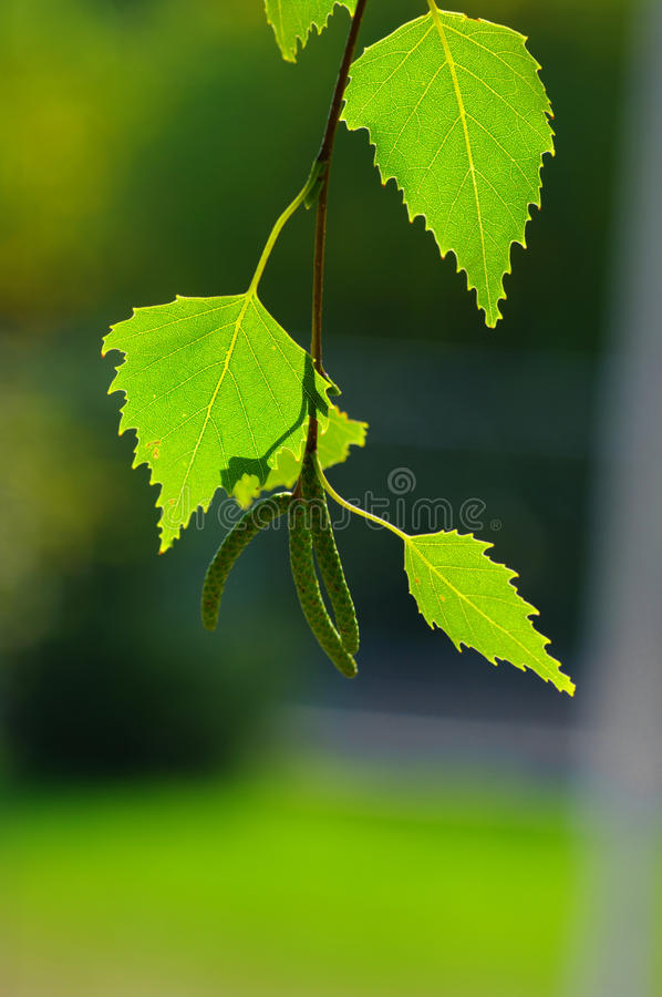 листья березы стоковое изображение