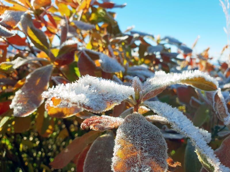 Листья Буша предусматриванного с концом-вверх заморозка против голубого неба стоковое фото rf