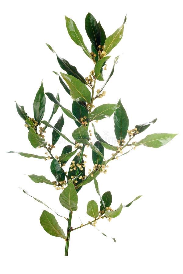 листья ветви залива стоковые изображения rf