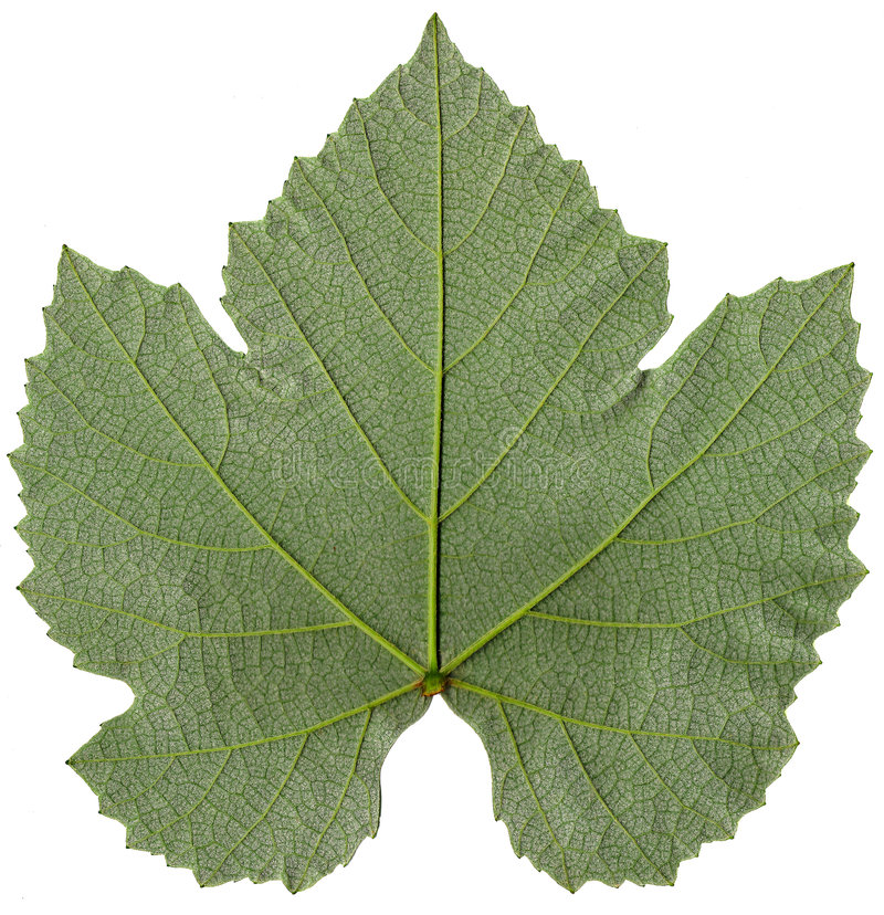 листья виноградины детали стоковое фото rf