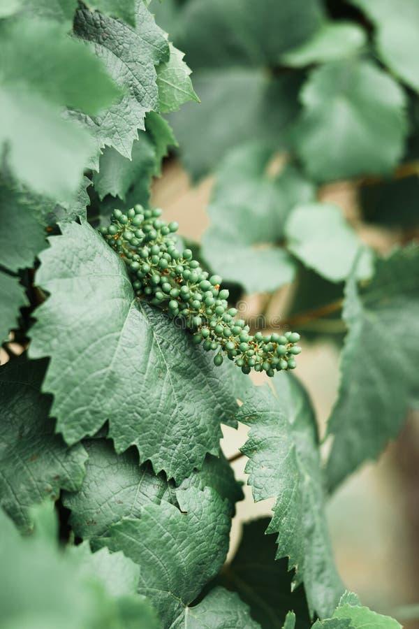 Листья виноградины, сырье в винограднике стоковое изображение rf