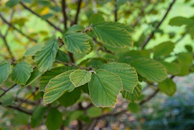 Листья волшебного гибрида Hamamelidaceae Hamamelis завода гайки стоковые изображения rf