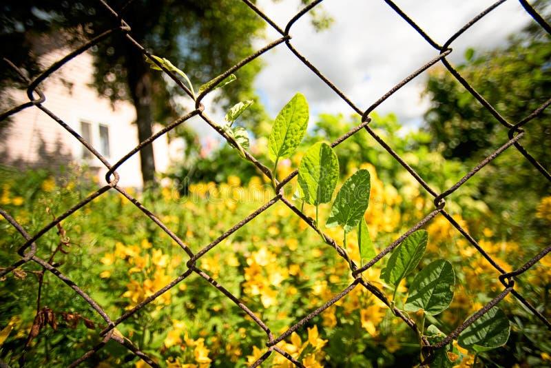 Листья вьюнка arvensis повилики растут entwined над обнести сад стоковые фото
