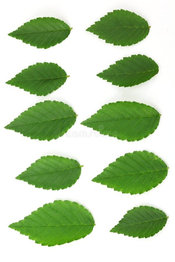 листья вяза стоковая фотография