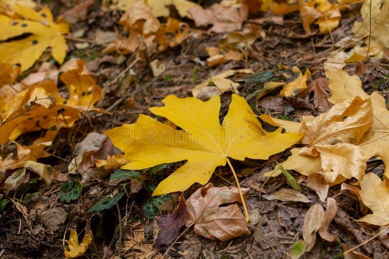 Листья гигантского клена желтые в осени стоковые изображения rf