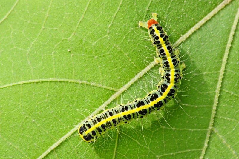 Download листья гусеницы милые стоковое фото. изображение насчитывающей метаморфизм - 17615546