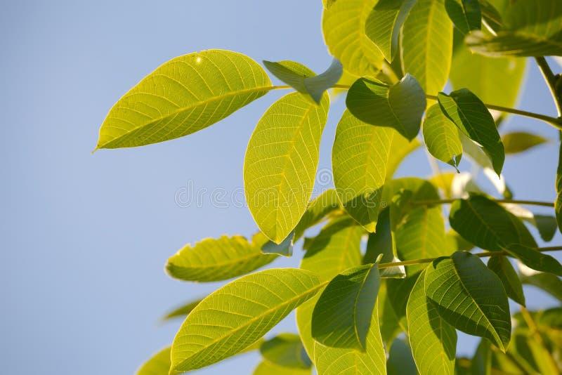 Листья дерева грецкого ореха стоковые изображения rf