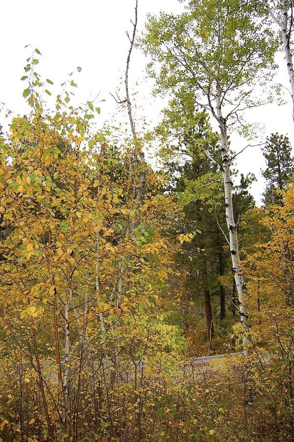 Листья дерева и желтого цвета березы стоковое фото