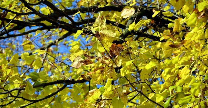 Листья дерева сухой осени желтые, запачканная естественная предпосылка осени экологичности стоковая фотография
