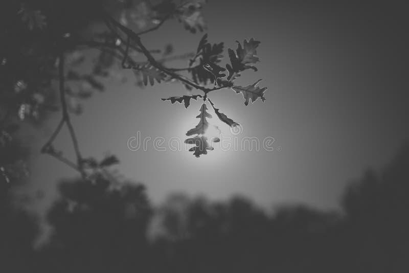Листья дуба в черно-белом Силуэт лист дуба в солнечном свете с предпосылкой неба бесплатная иллюстрация