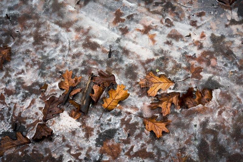 Листья дуба, который замерли в зиме стоковое фото rf