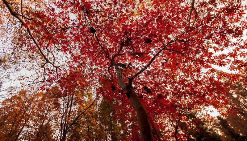 Листья дерева зонтика стоковое фото