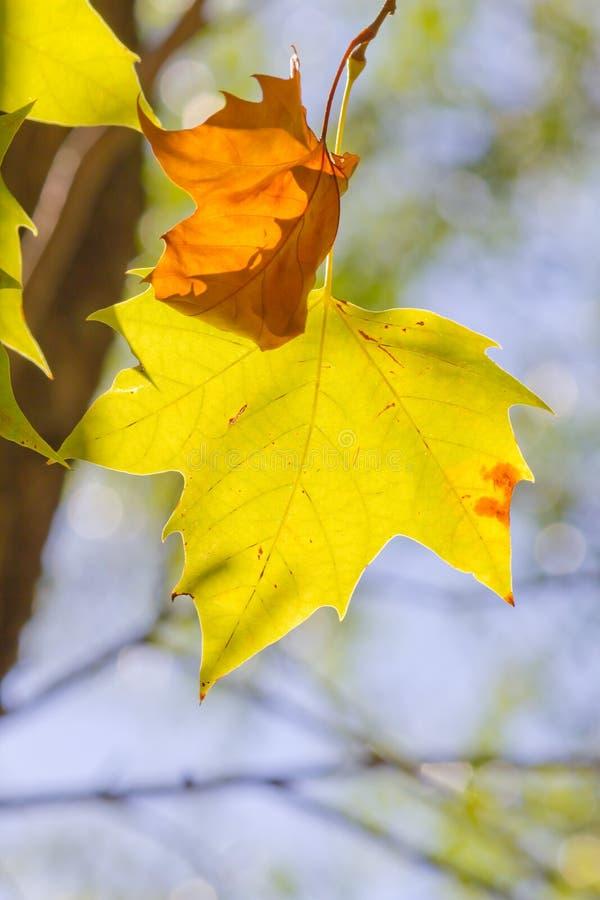 Листья дерева клена стоковая фотография