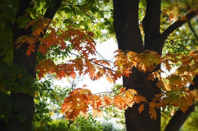 Листья дерева осени стоковое изображение rf